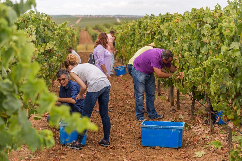 Vila Galé: experiência da vindima para turistas